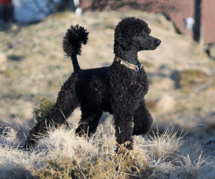 Poodles Smart Active And Proud Poodle Dog Black Standard