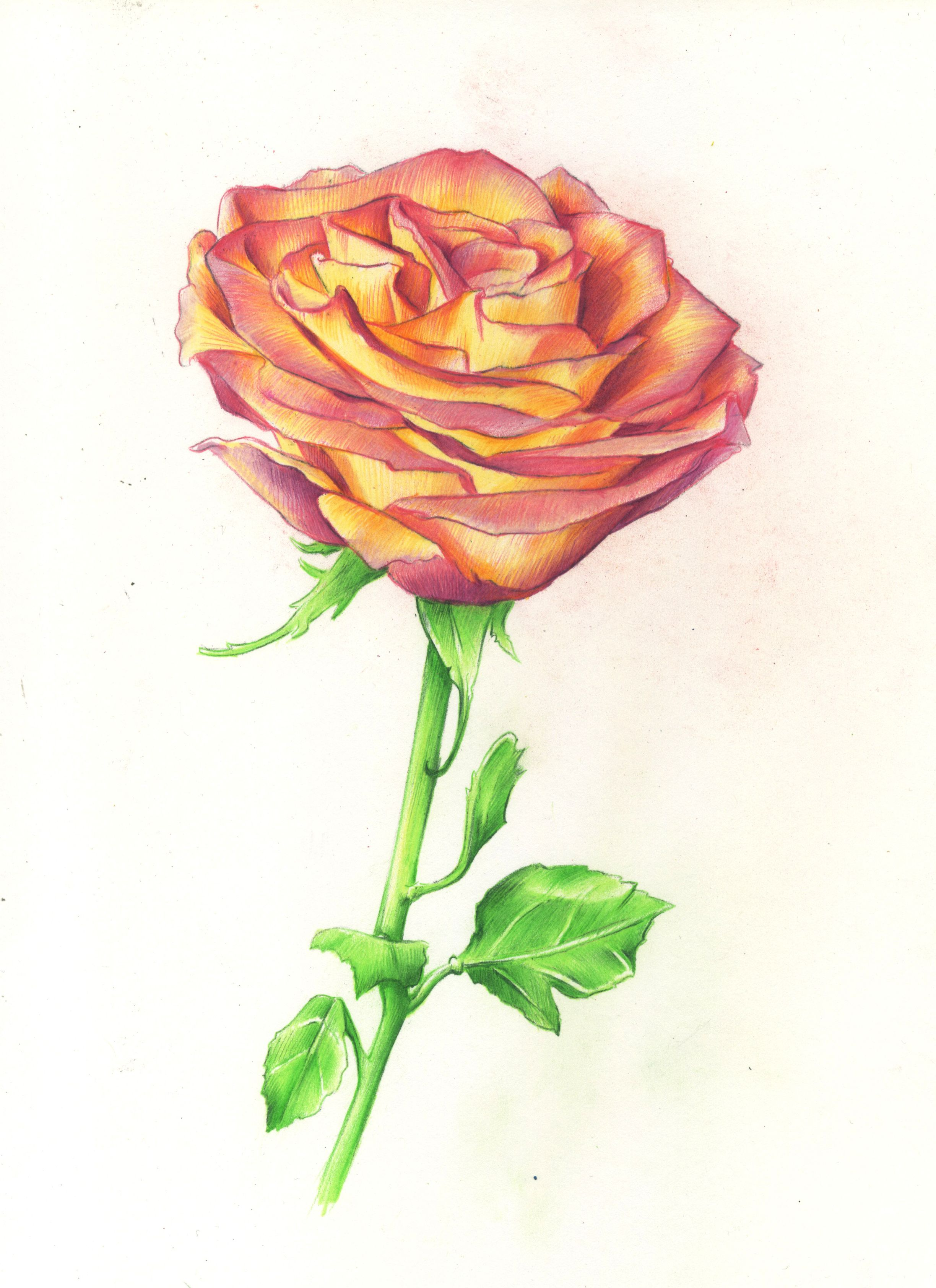Anime One Red Rose Stalk Pencil Sketch