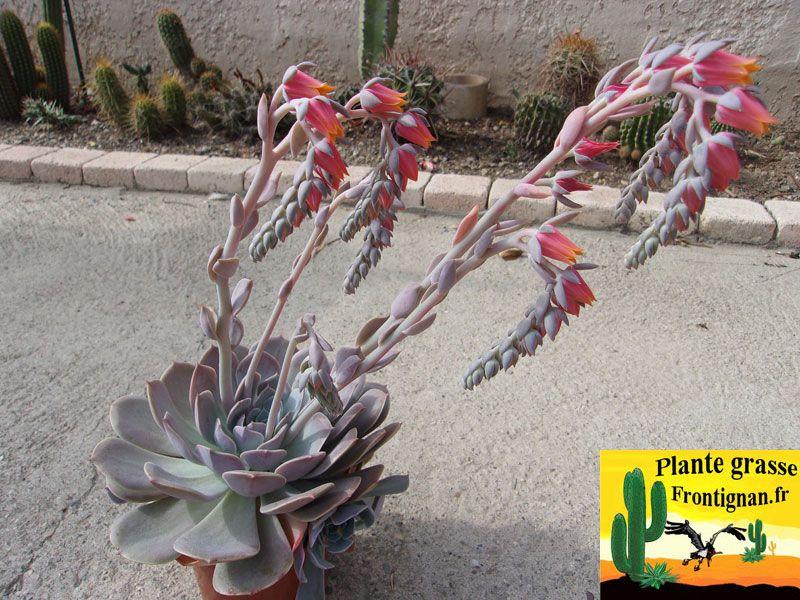 Echeveria flor WaveLite