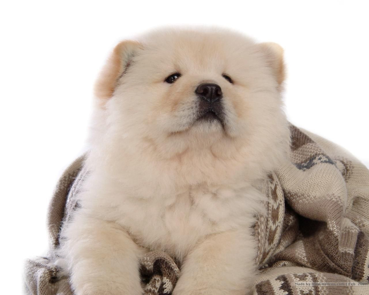 Chow Chow Puppy Wallpaper Chow Chow Puppy Chow Chow Dog Puppy