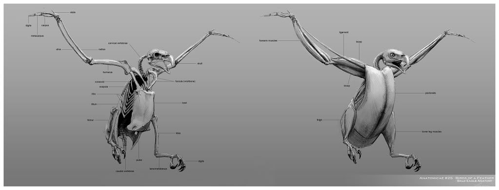 Eagle skeleton and muscle system