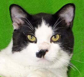 Oreo is an adoptable Domestic Short Hair Cat in Renfrew, PA.  ...