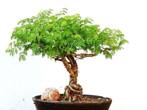Acacia Bonsai Bonsai Tree Care Bonsai Tree Bonsai Care