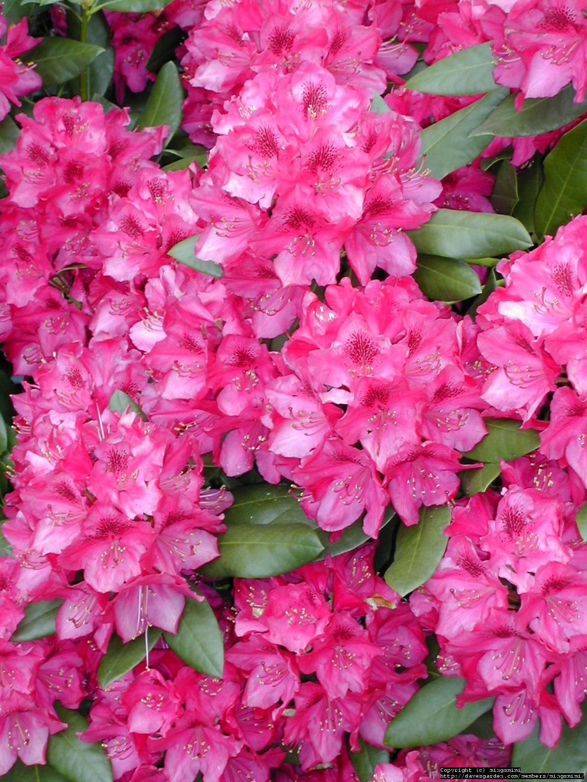 Coast rhododendron state flower for washington living in coast rhododendron or pacific rhododendron native to the pacific northwest along the cascade mountain region is the state flower of washington state publicscrutiny Images