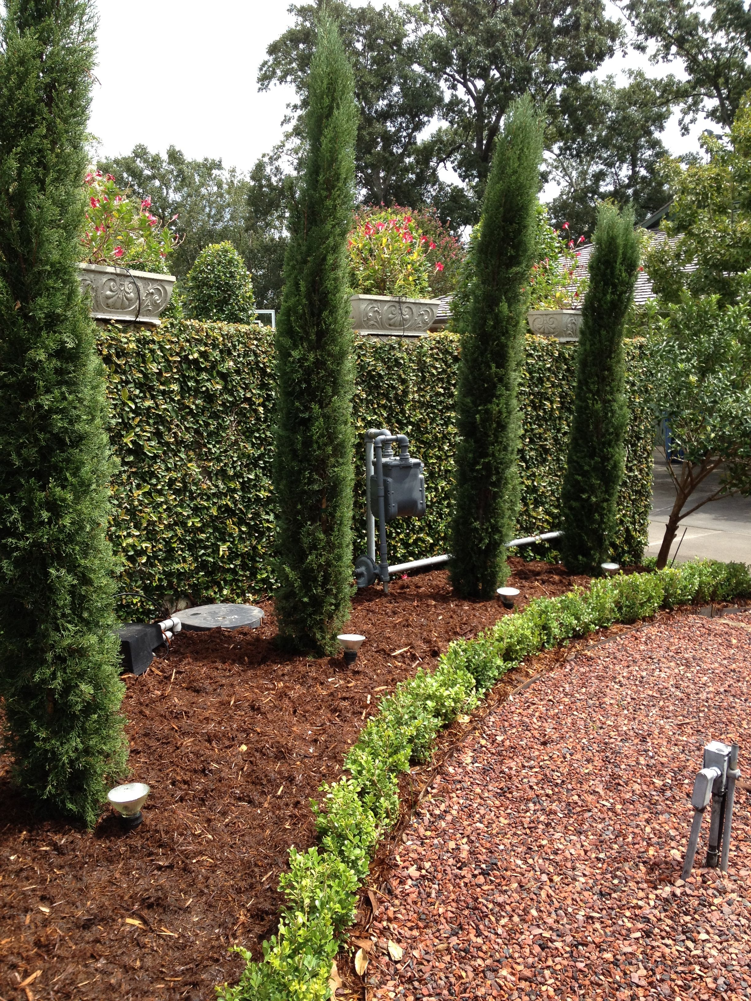 I did italian cypress boxwood and fig ivy on the wall for Italian landscape design