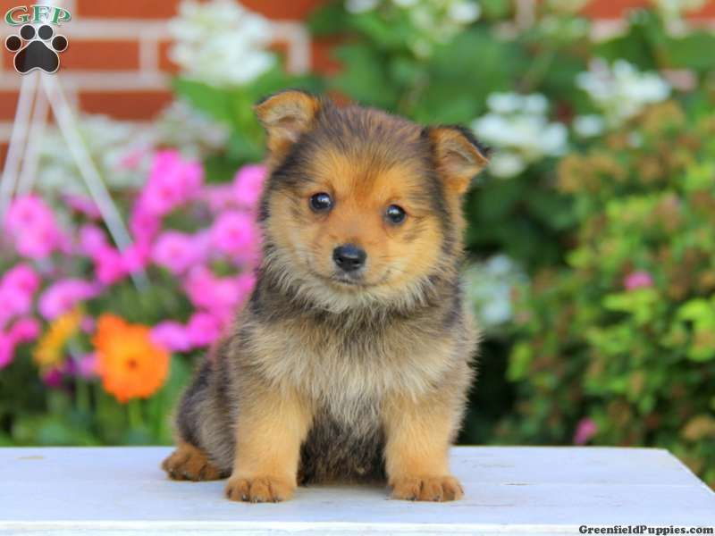 Chance Yorkie Pom Puppy For Sale In Pennsylvania Puppies