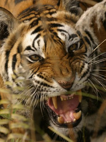 Bengal Tiger Snarling Madhya Pradesh India Photographic Print Elliot Neep Allposters Com Angry Tiger Big Cats Tiger And Bunny