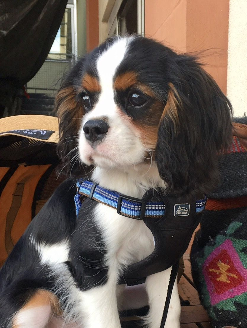 Lunch Out With My Sis Cavalier King Charles Cavalier King Charles Spaniel Tricolor Cavalier King Charles Spaniel
