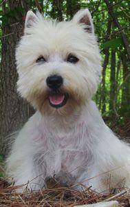 Westies Are Wonderful Westie Puppies Westie Puppies For Sale Westies