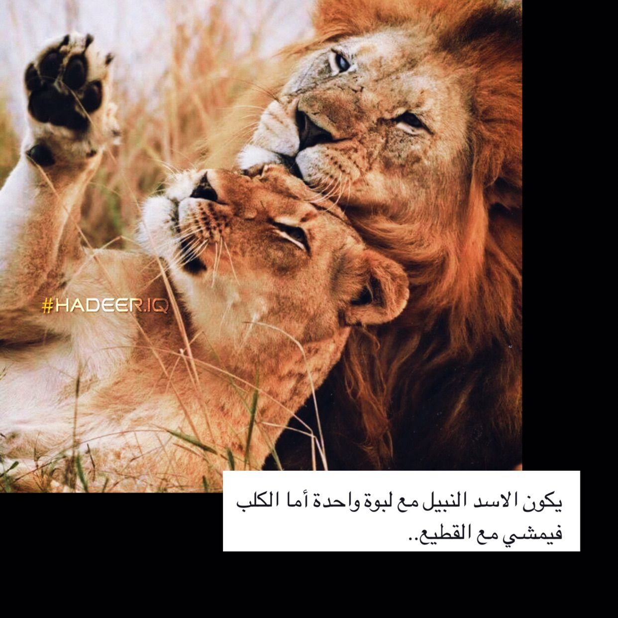 اسد لبوه Lion حب Book Cover Art Instagram Photo Editing Teenage Girl Photography