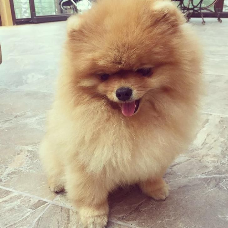 Female Pomeranian Puppies For Sale In Minnesota Puppies For Sale