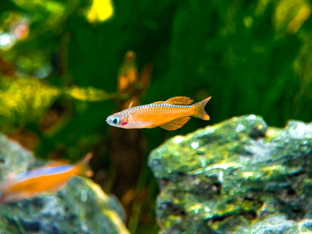 Red Neon Blue Eye Rainbowfish Pseudomugil Luminatus Tank Bred Tropical Fish Aquarium Salt Water Fishing Fish