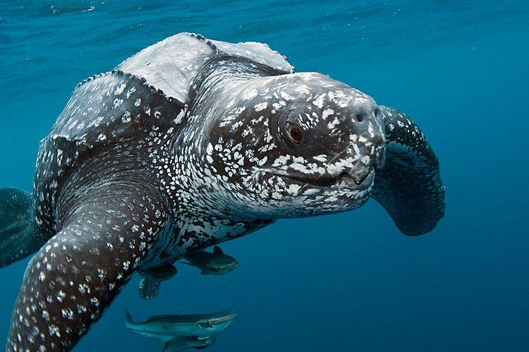 Dermochelys coriacea | Tartaruga de couro, Tartaruga, Especies de ...