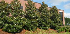 Kay Parris Southern Magnolia This Tree Is An Upright Columnar Southern Magnolia That Bears Six Inch Wide Fragrant Flowers Urban Tree Plants Fragrant Flowers