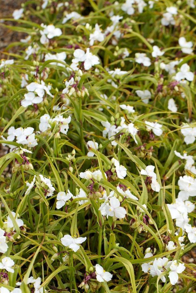 Bedding Plants, White Flower Bedding Plants