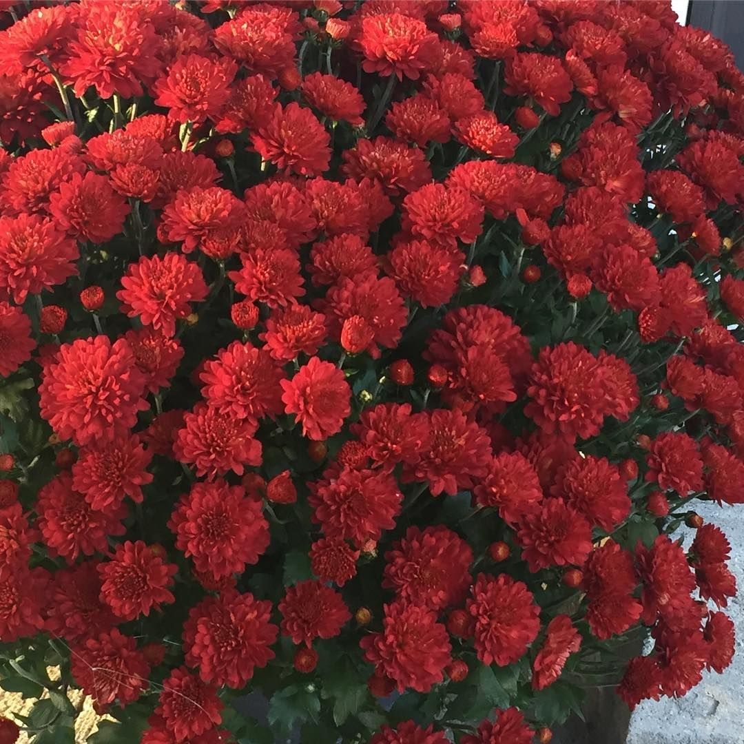 Fall mums pinterest fall mums planting and perennials keep these bursts of color bright this fall with our complete guide to chrysanthemum care izmirmasajfo