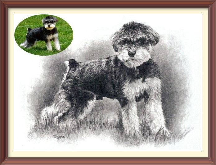 """Dax the #Min #Schnauzer sketch. Done in 8x10"""" size in graphite pencil by #pet portrait Genevieve Schlueter. All her work is hand drawn from photos. See more of her work at www.gensart.net"""