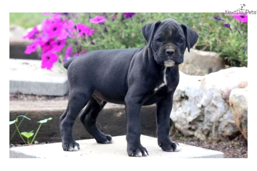 Bully Pitbull Puppies For Sale In Indiana 2021