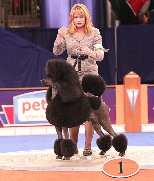 Standard Poodle Non Sport Group Winner Akc Eukanuba National