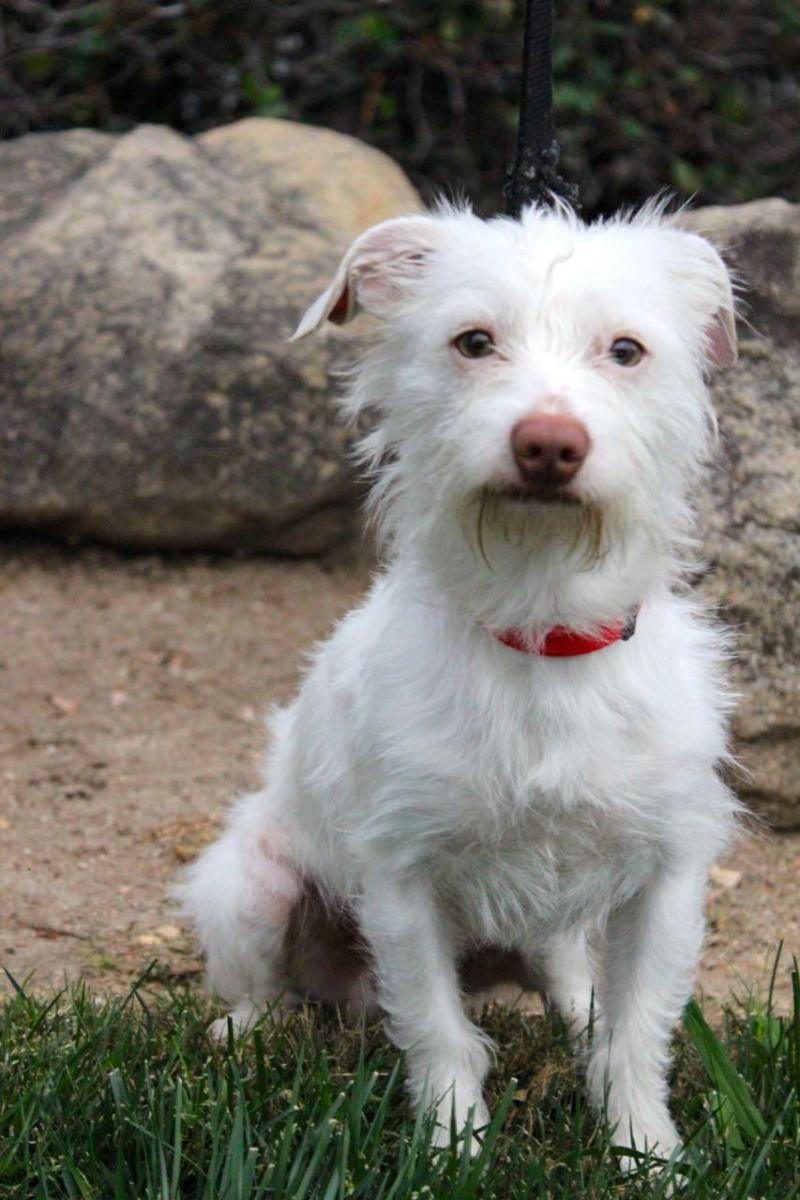 Adopt Hyatt On Fluffy Puppies Terrier Mix Dogs White Terrier