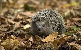 Hedgehog (Woods)