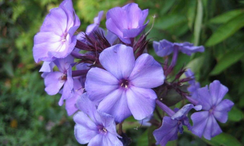 Duftende blomster som holder insektene unna | ABC Nyheter