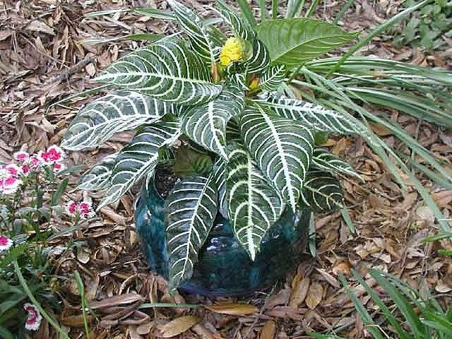 Aphelandra Zebra Houseplant Growing Info And Zebra Plant Care