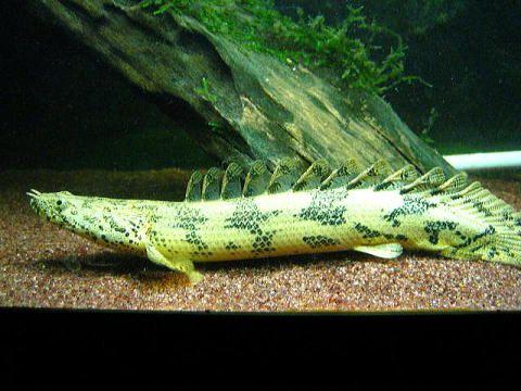 喜楽亭 熱帯魚とか爬虫類とか 淡水魚 水族館の魚 古代魚