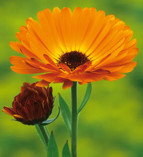 Calendula officinalis 'Indian Prince' in 2020 (With images