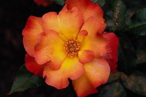 صورة وردة برتقالية رائعة Photo Hd Floral Rings Flowers Floral