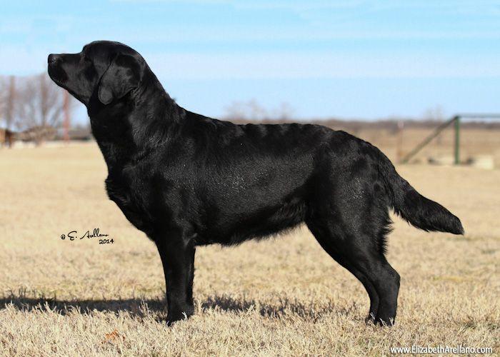 English Labrador Retriever Labrador English Labrador Labrador