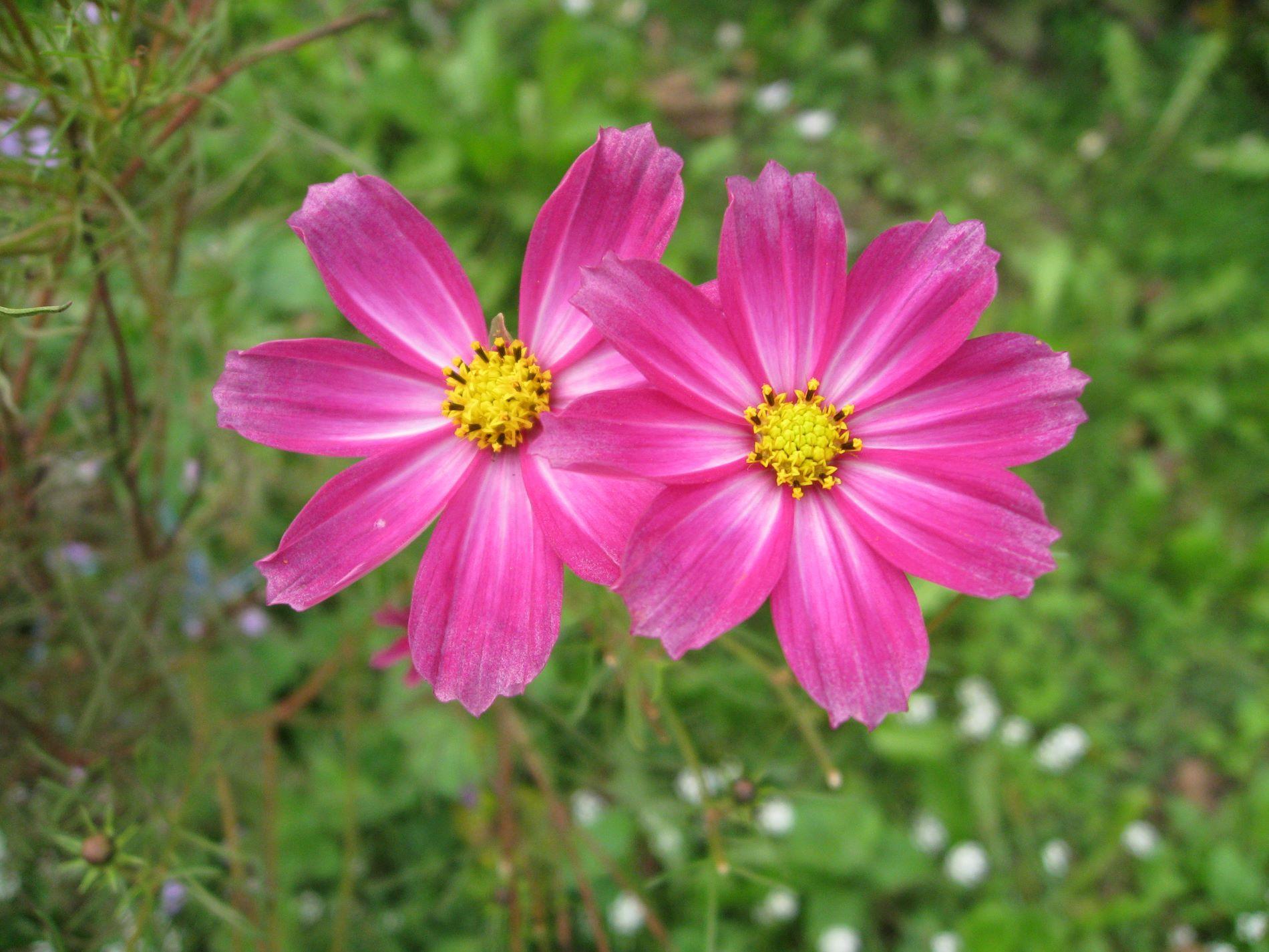 Aster Flower Find Beautiful Home Decor At Tinyurlsoelegant