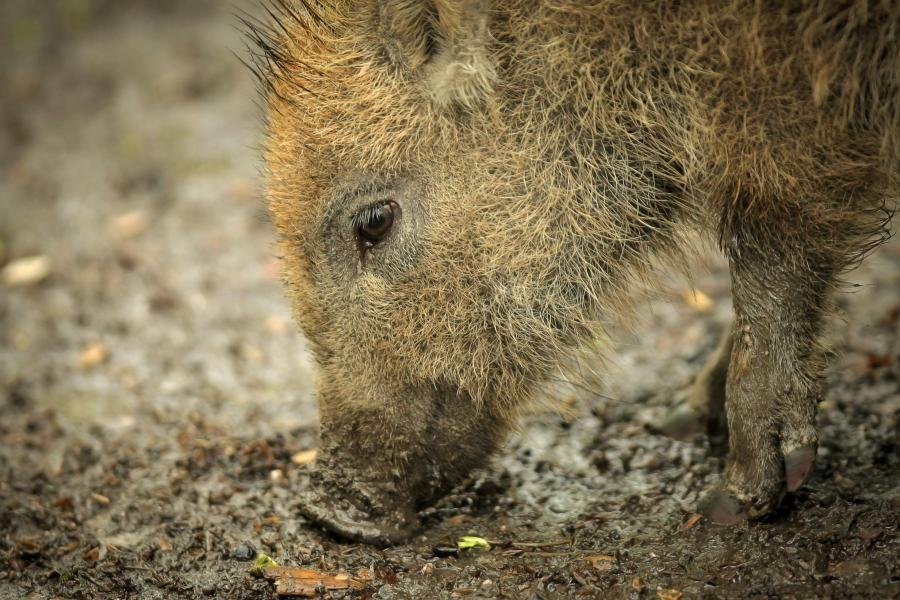 Radioaktive Wildschweine In Deutschland