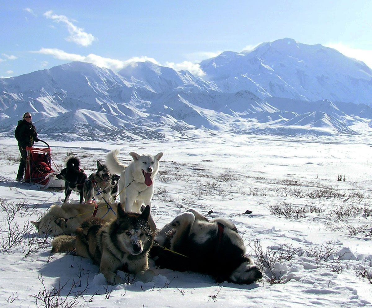 Denali Sled Dogs