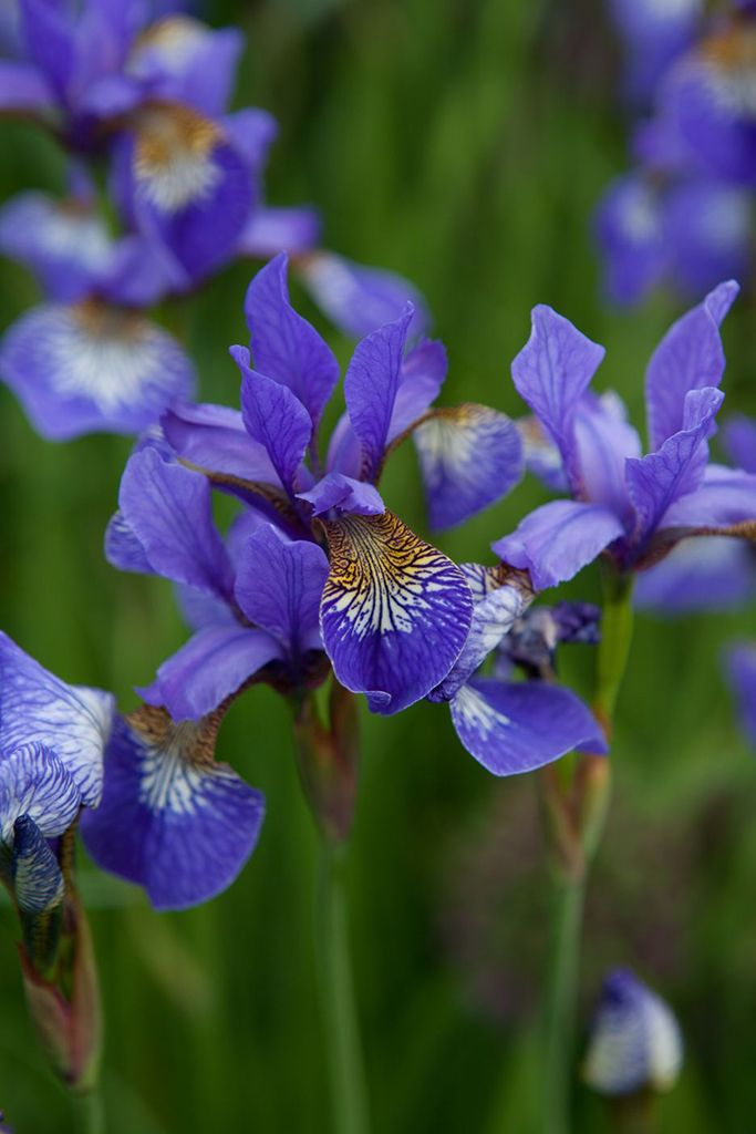 Spring bulbs - Iris 'Tropic Night'. This lovely iris can also be enjoyed as a marginal plant in ponds, as it helps prevent bank erosion. Photo by Marsha Arnold.
