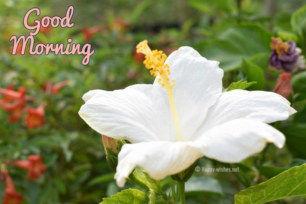 Good Morning Wishes With White Flower Images Good Morning Beautiful Flowers Good Morning Roses Morning Wish
