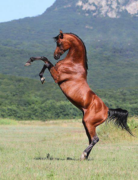 Arabian Horse Looks like the Ferrari horse logo