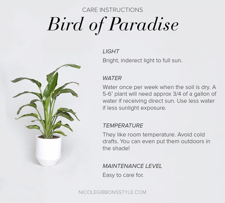 Move Over Fiddle Leaf Fig Tree Hello Bird Of Paradise Birds Of Paradise House Plants Birds Of Paradise Plant