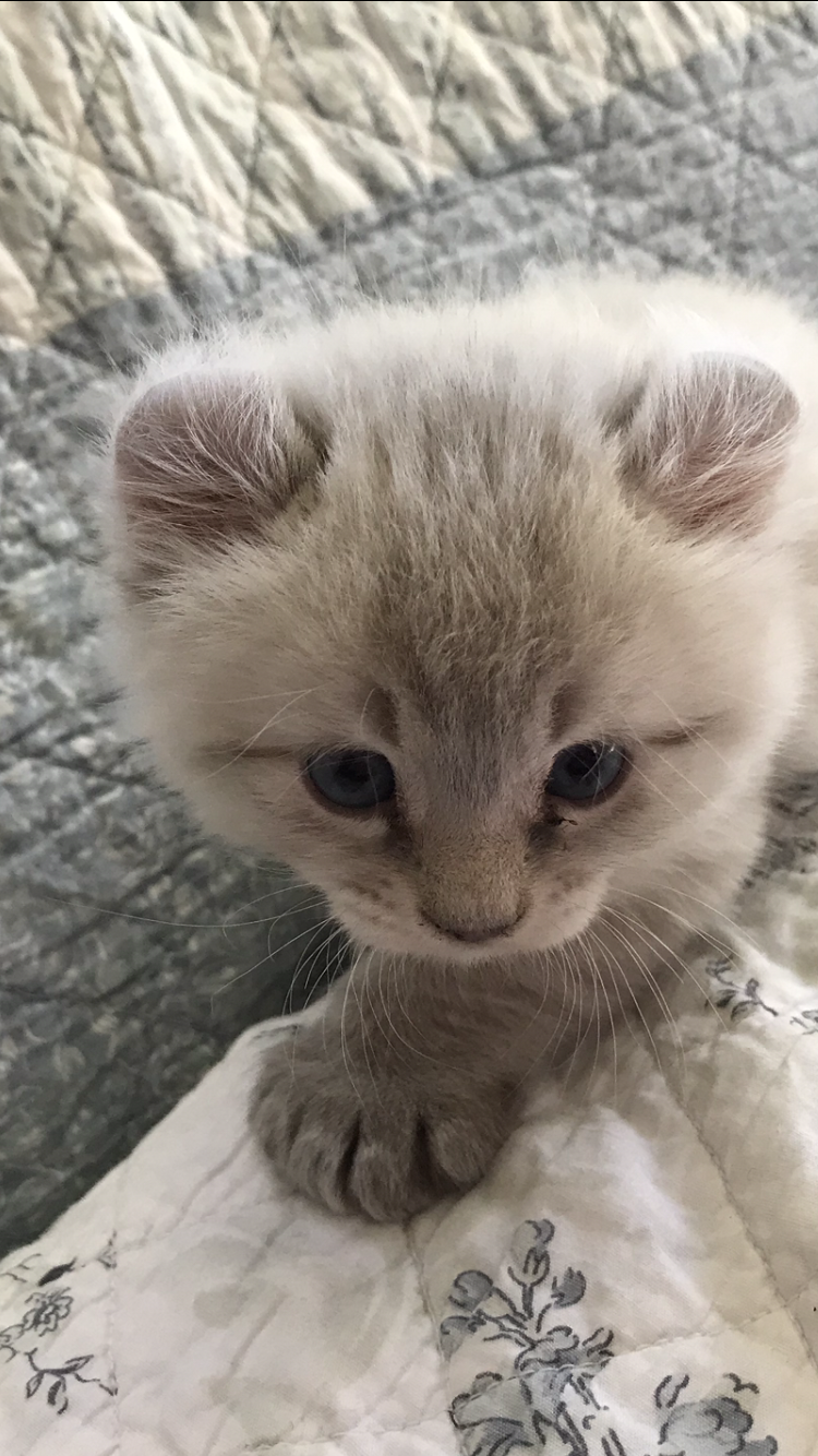 There S No Other Cat Like Snowball Lynx Kitten Kitten Cats