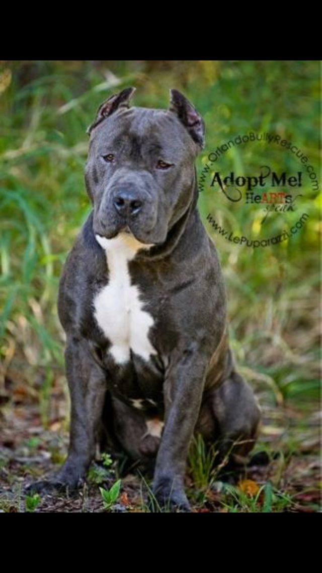 Mogli Xl Blue Nose Pitbull Mascotas Perros Pitbull