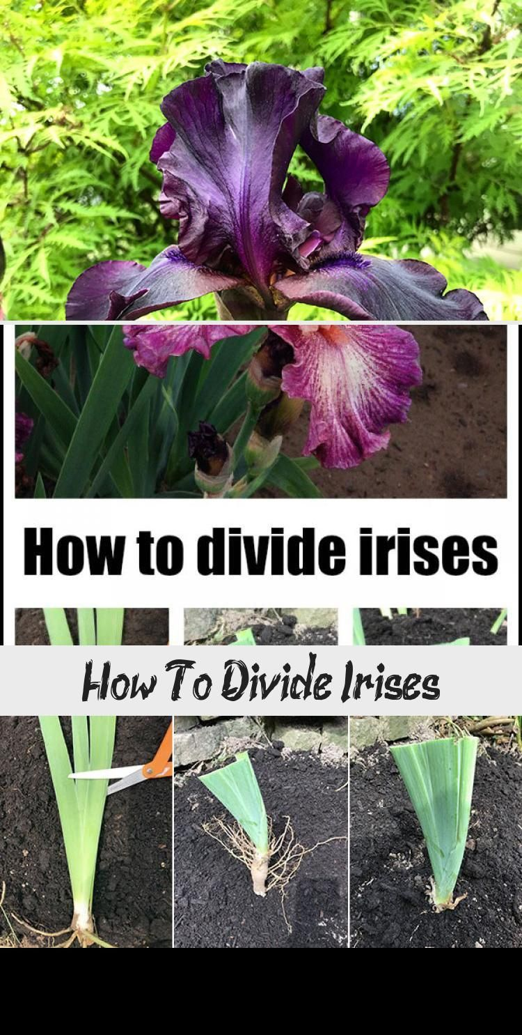 How To Divide Irises Garden How To Divide Irises And Replant Them In The Garden Cottagegardenvideos Cottage In 2020 Iris Garden Blue Iris Flowers Growing Irises