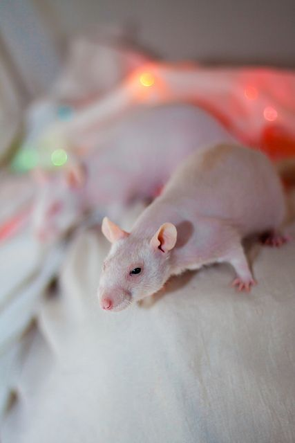 another hairless rat, great for snuggling!