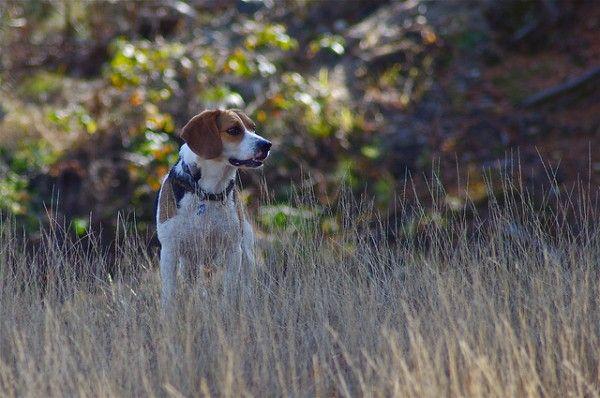 Hunting Hound