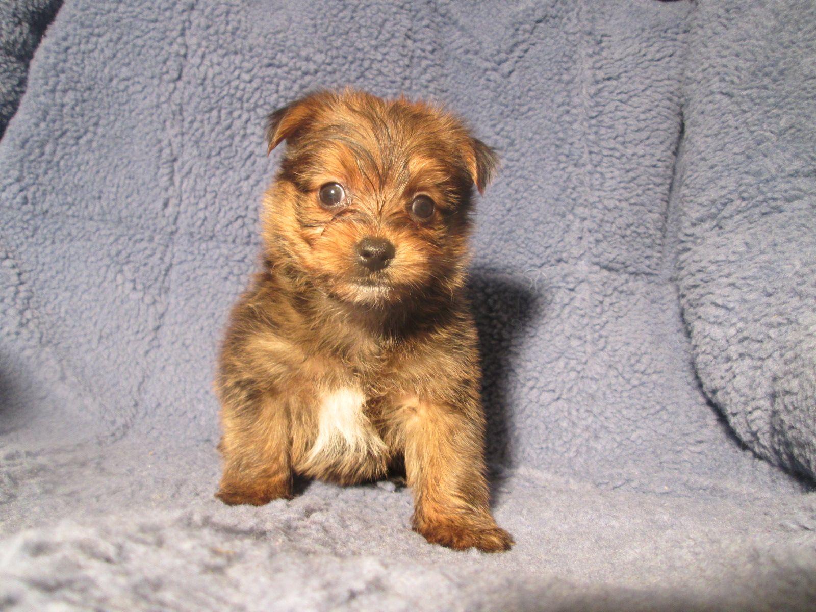 Loving Yopom Puppies Available Yorkie X Pomeranian 8 12