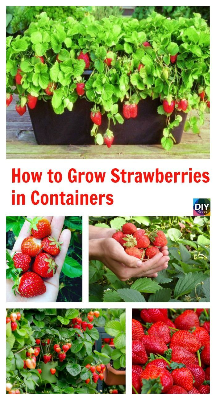 Stylized How To Grow Strawberries Containers How To Grow Strawberries Containers Gardening Diy Gardening Container Ideas Diy Gardening Containers