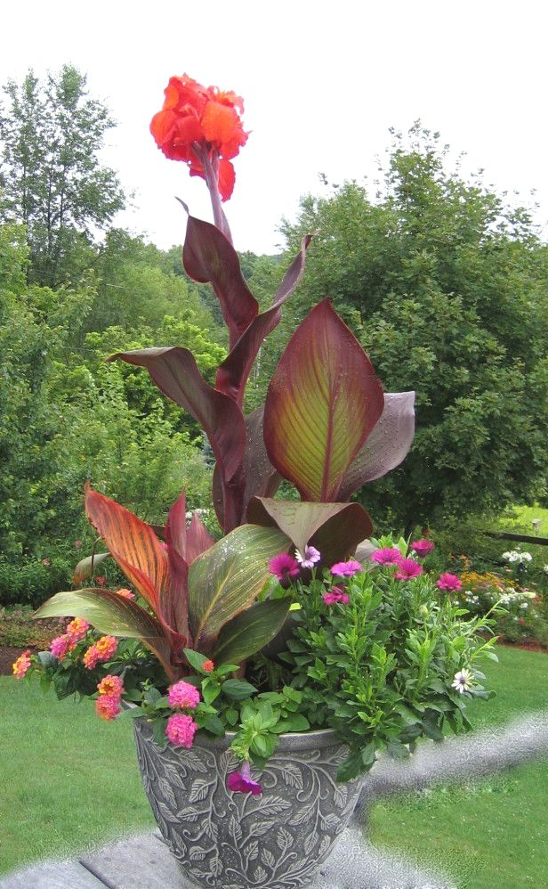 Tropicanna Canna Canna Indica Phasion Landscapingprojects Container Gardening Flowers Container Garden Design Garden Containers