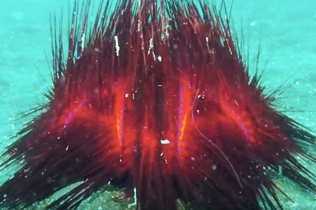 These vibrant 'star butt' urchins look like underwater bonfires