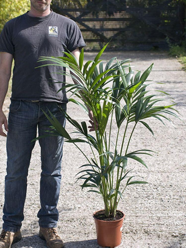 Howea forsteriana Kentia Palm Howea, Kentia palm, Potted
