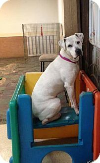 American Bulldog Labrador Retriever Mix Dog For Adoption In