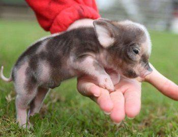 Mini Cerdos – La Nueva Mascota de Moda en México http://www.mascotadomestica.com/animales-de-mexico/mini-cerdos-la-nueva-mascota-de-moda-en-mexico.html